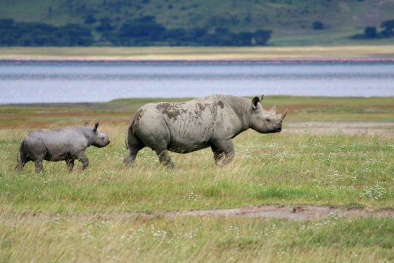 baby rhino with mom